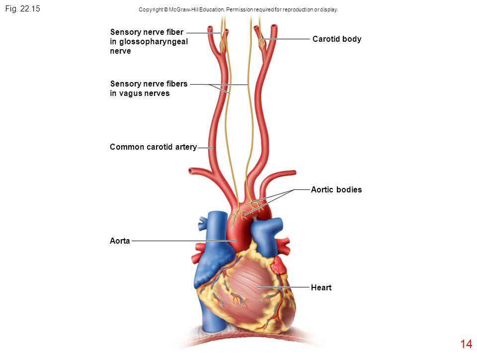 Fig. 22.15 Sensory nerve fiber in glossopharyngeal Carotid body nerve