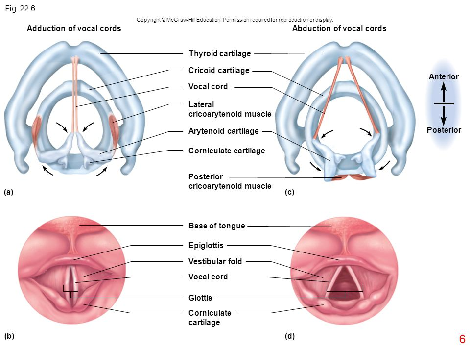 Adduction of vocal cords Abduction of vocal cords