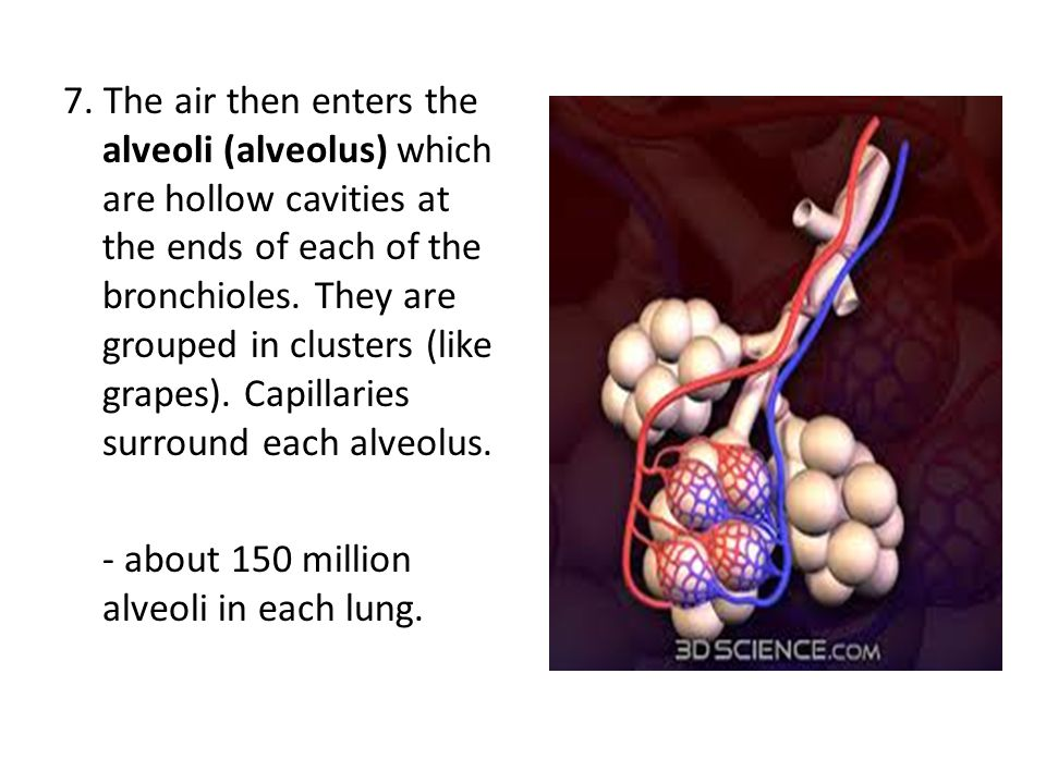 7. The air then enters the alveoli (alveolus) which are hollow cavities at the ends of each of the bronchioles. They are grouped in clusters (like grapes). Capillaries surround each alveolus.