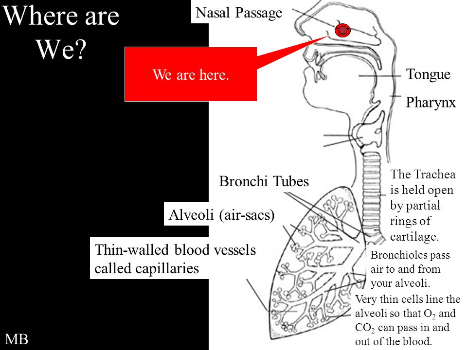 Where are We Nasal Passage We are here. Tongue Pharynx Bronchi Tubes