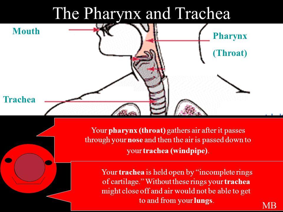 The Pharynx and Trachea