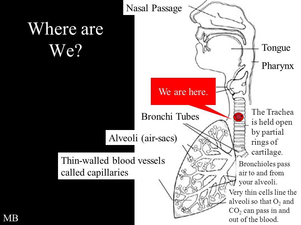 Where are We Nasal Passage Tongue Pharynx We are here. Bronchi Tubes
