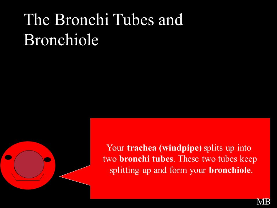 The Bronchi Tubes and Bronchiole Intro