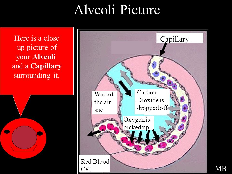 Alveoli Picture Here is a close Capillary up picture of your Alveoli
