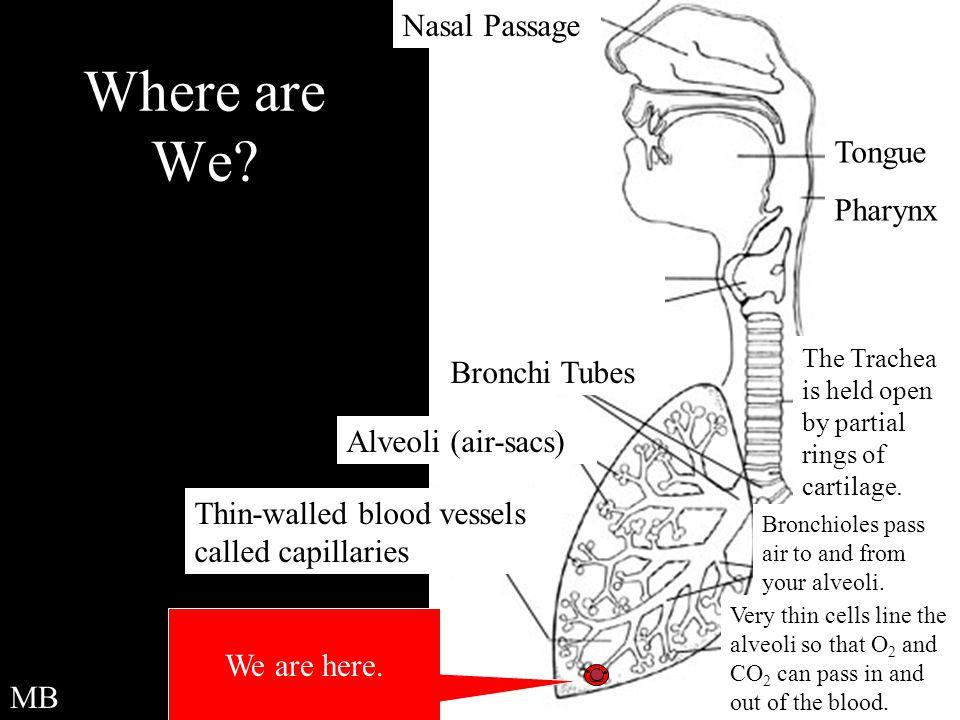 Where are We Nasal Passage Tongue Pharynx Bronchi Tubes