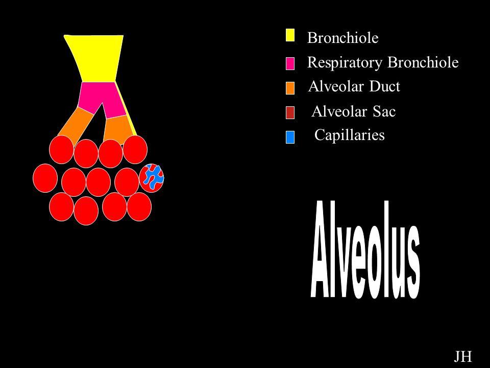 Alveolus Bronchiole Respiratory Bronchiole Alveolar Duct Alveolar Sac