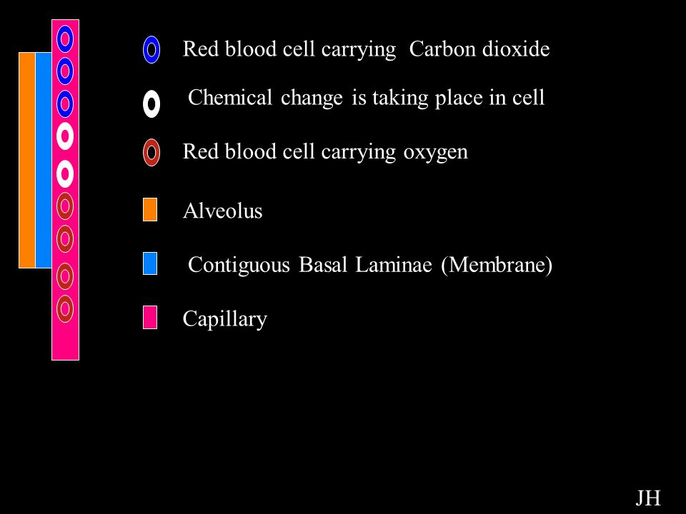 Red blood cell carrying Carbon dioxide