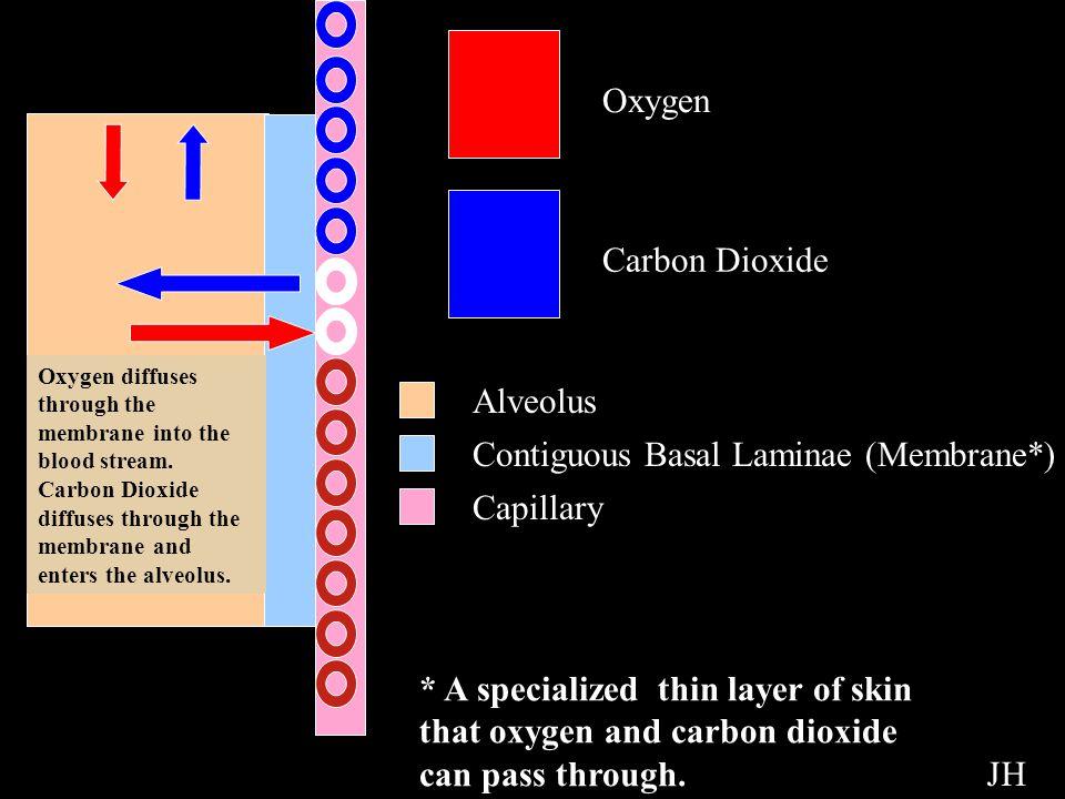 Contiguous Basal Laminae (Membrane*)