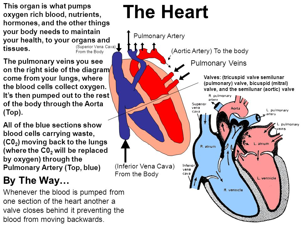 The Heart By The Way… Pulmonary Veins