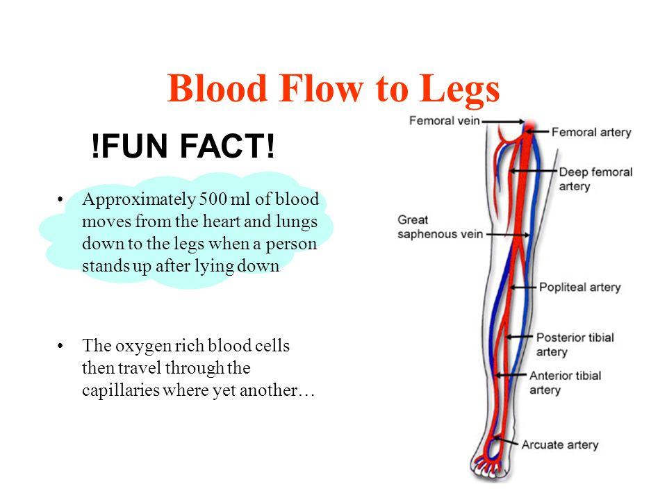 Blood Flow to Legs !FUN FACT!