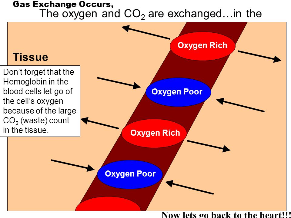 The oxygen and CO2 are exchanged…in the cells