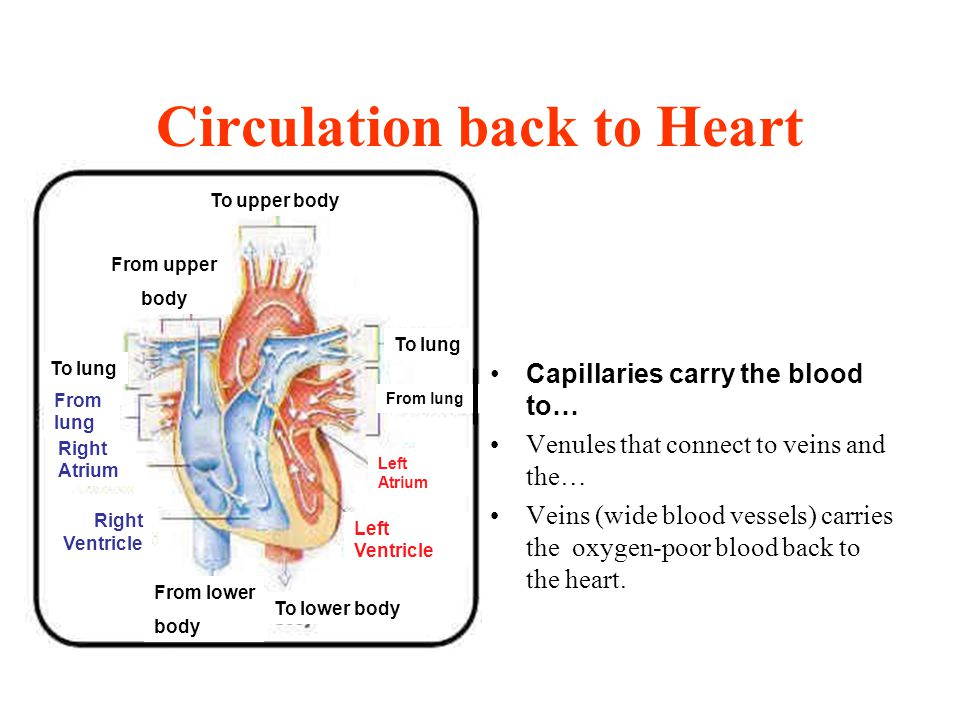 Circulation back to Heart