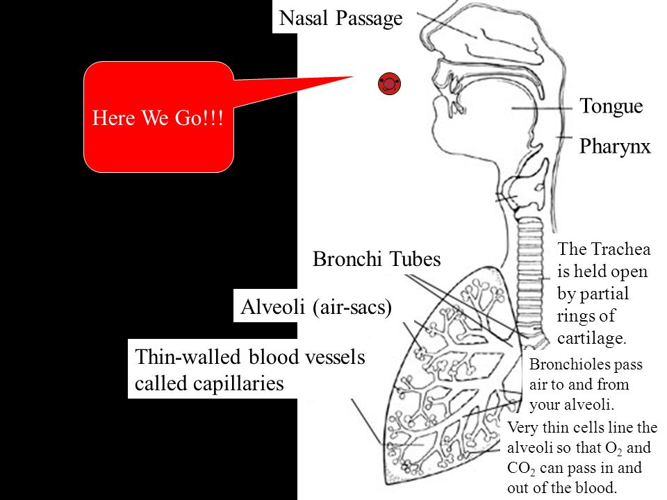 Where are we Nasal Passage Here We Go!!! Tongue Pharynx Bronchi Tubes