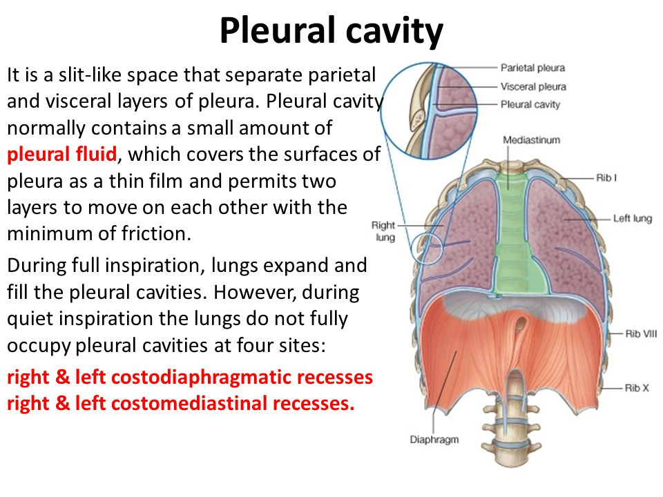 thoracic cavity & contents - ppt video online download, Human Body
