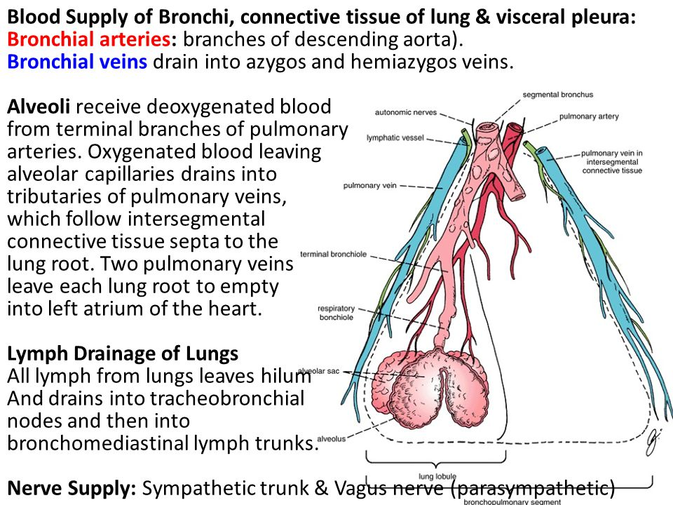 Blood Supply of Bronchi, connective tissue of lung & visceral pleura: Bronchial arteries: branches of descending aorta).