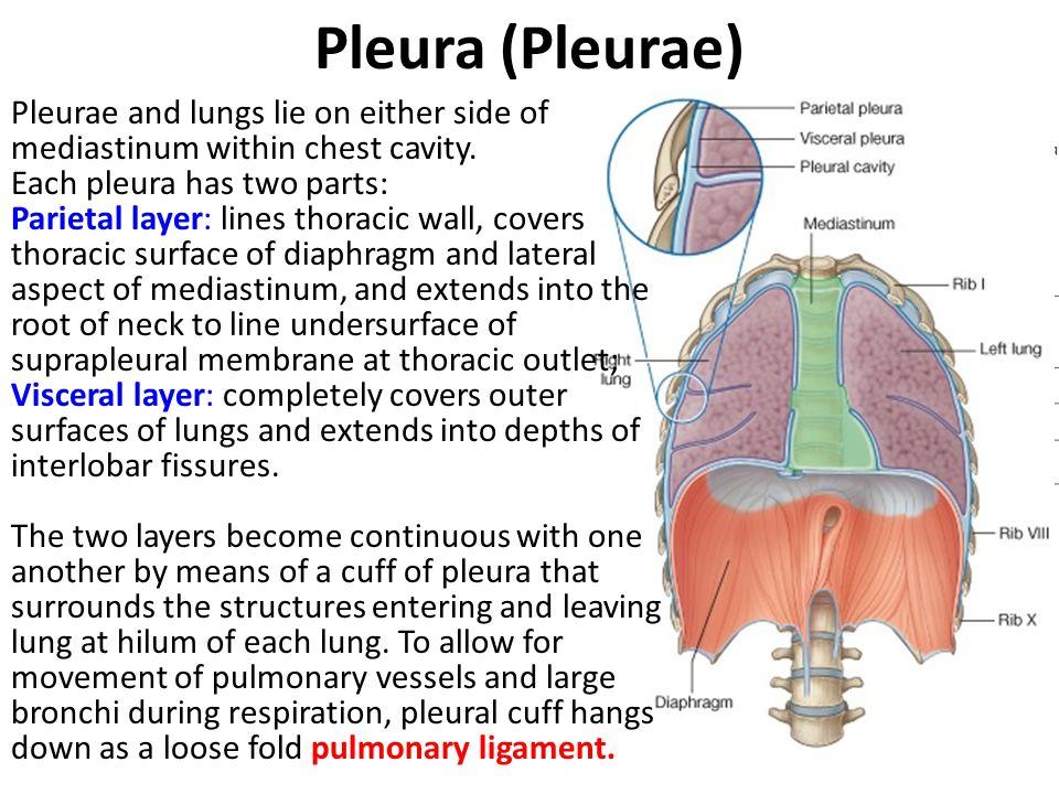 Pleura (Pleurae)