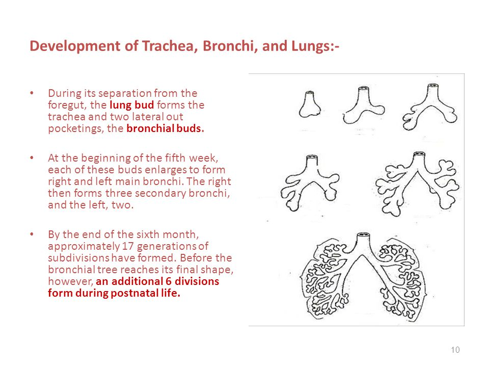 Development of Trachea, Bronchi, and Lungs:-