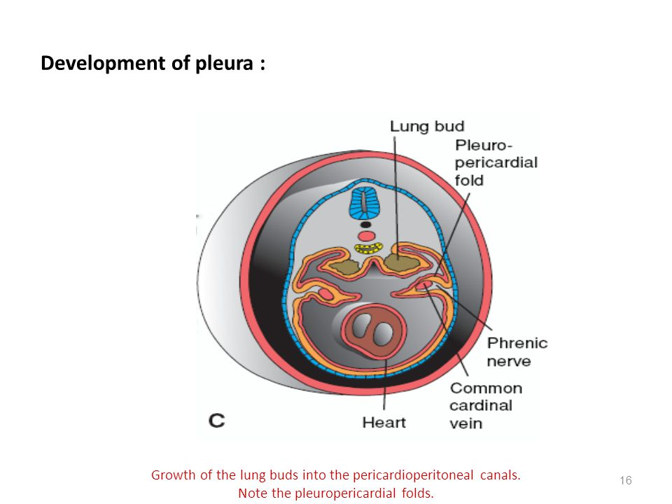 Development of pleura :