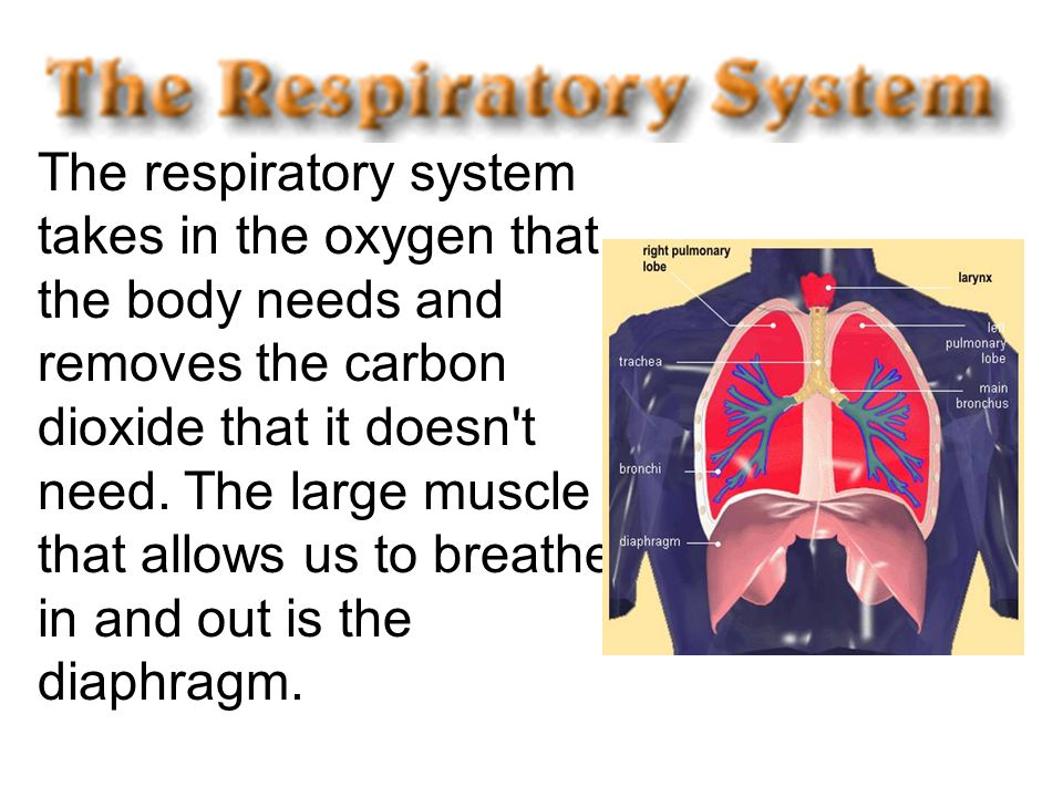 The respiratory system takes in the oxygen that the body needs and removes the carbon dioxide that it doesn t need.