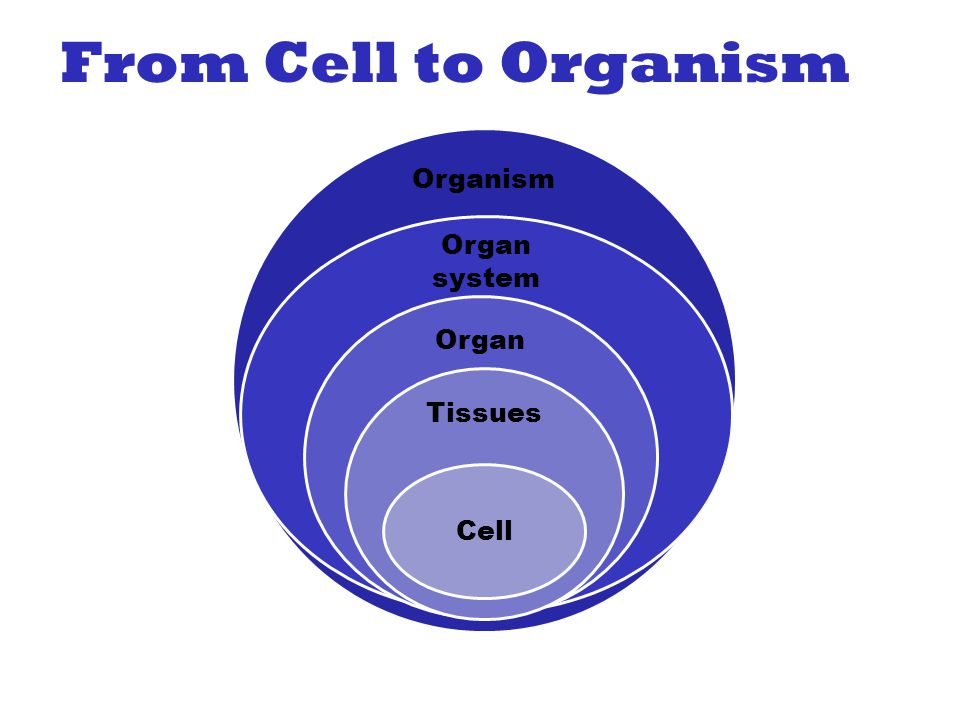 From Cell to Organism Organism Organ system Organ Tissues Cell