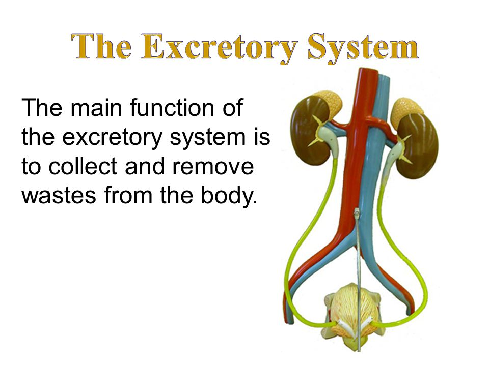 The Excretory System The main function of the excretory system is to collect and remove wastes from the body.