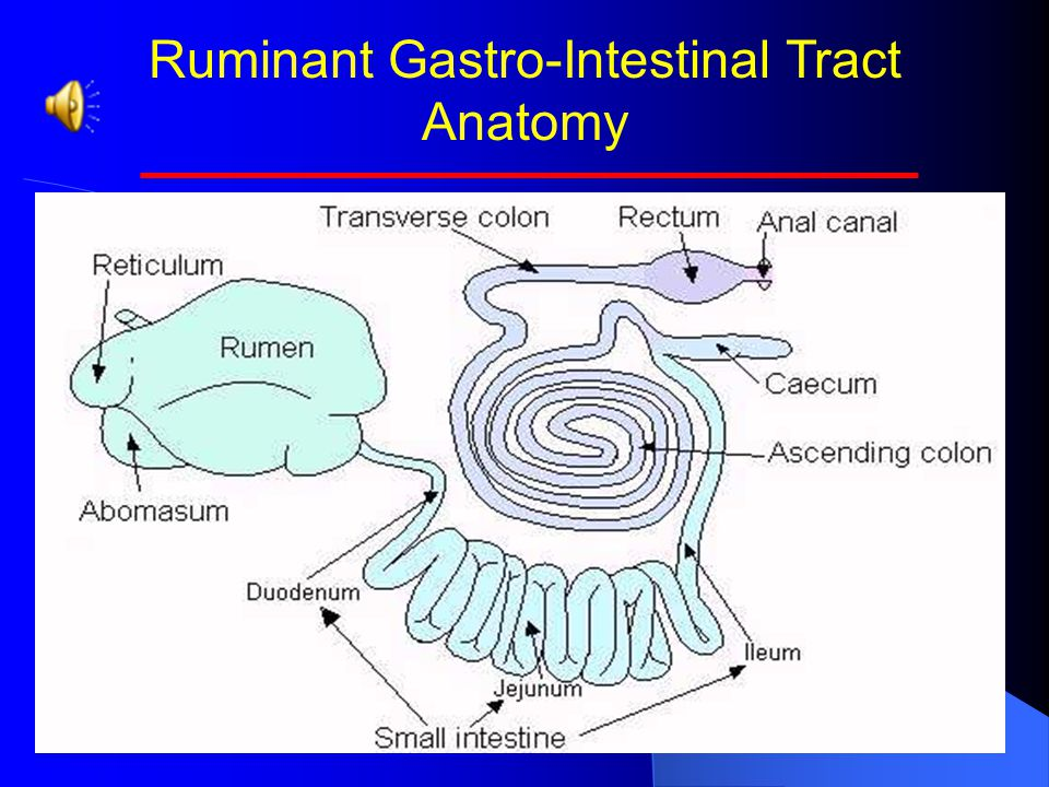 Ruminant Gastro Intestinal Tract Anatomy Ppt Video Online Download