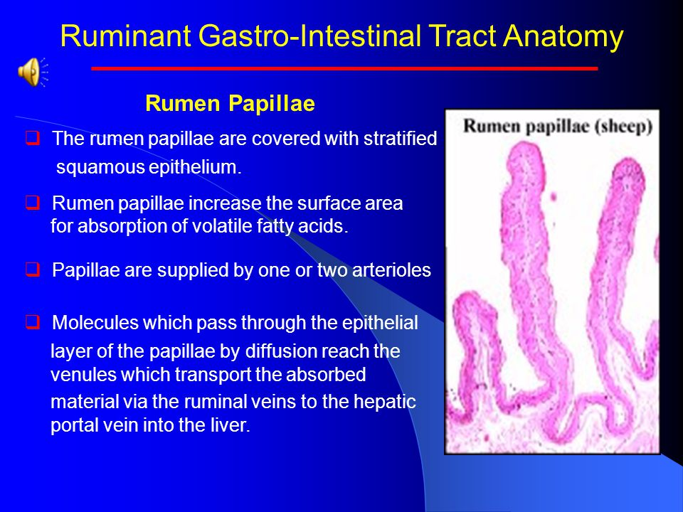 Intestinal tract anatomy