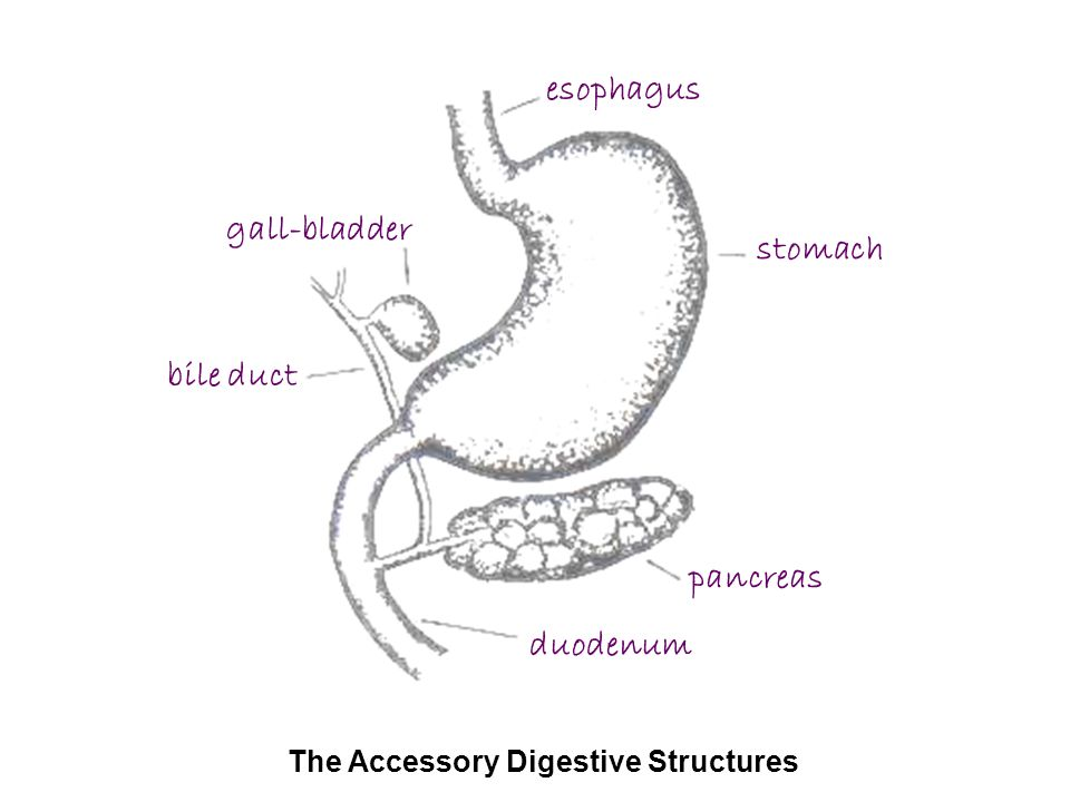 The Accessory Digestive Structures