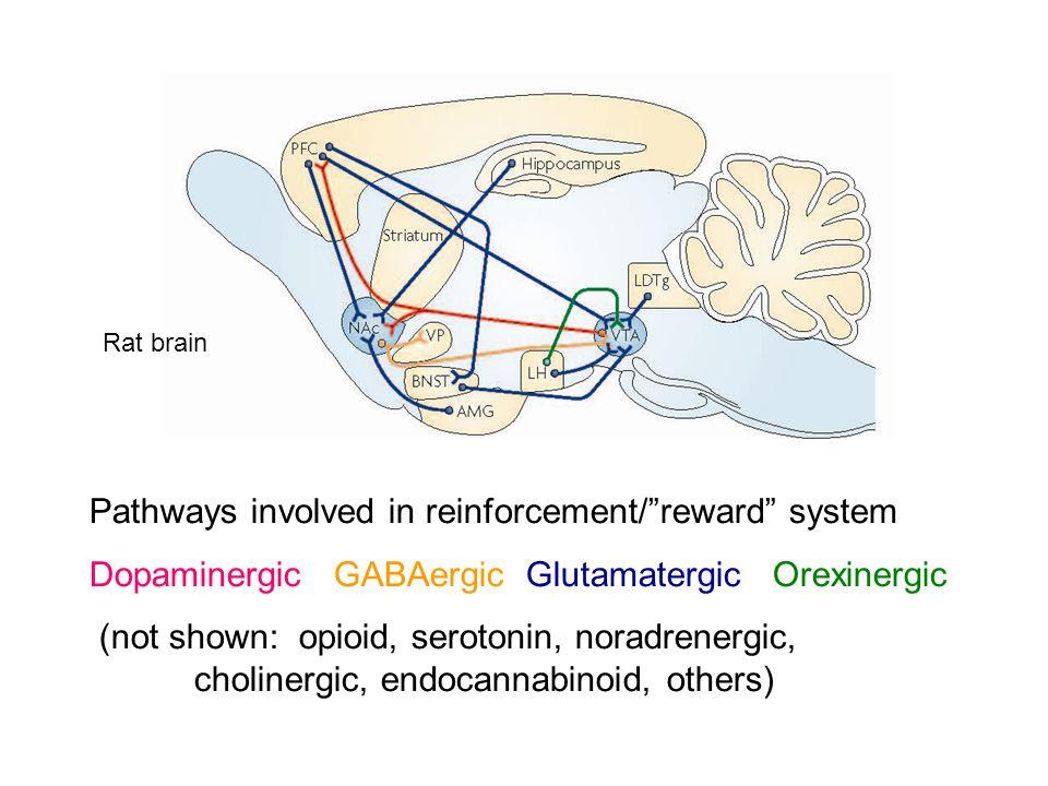 Pathways involved in reinforcement/ reward system