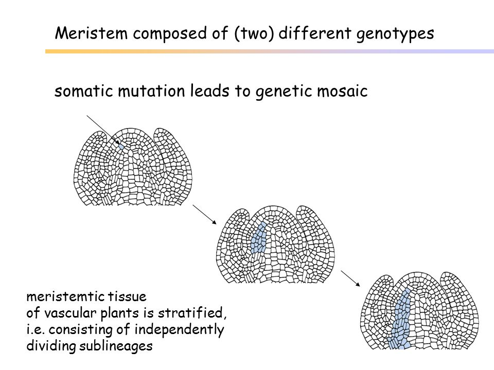Meristem composed of (two) different genotypes