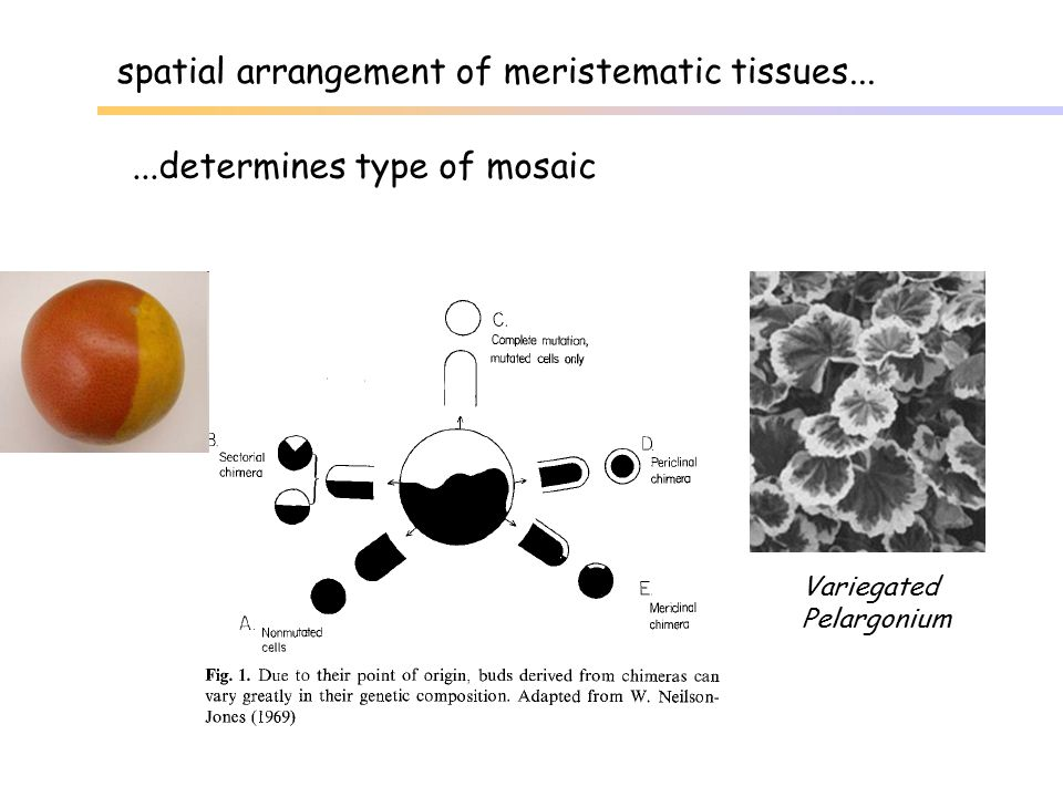 spatial arrangement of meristematic tissues...