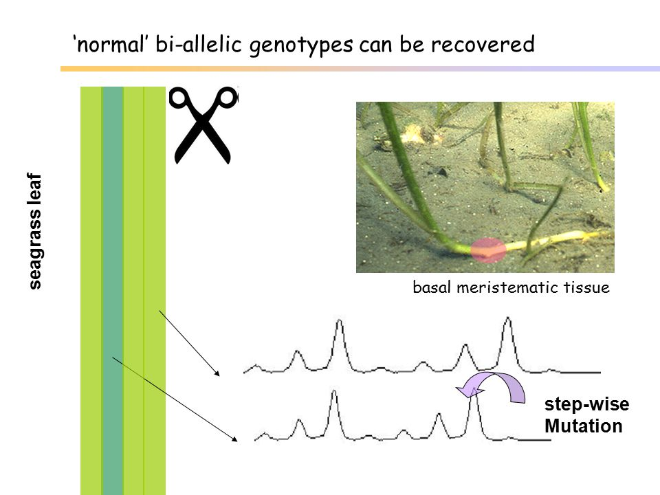 'normal' bi-allelic genotypes can be recovered