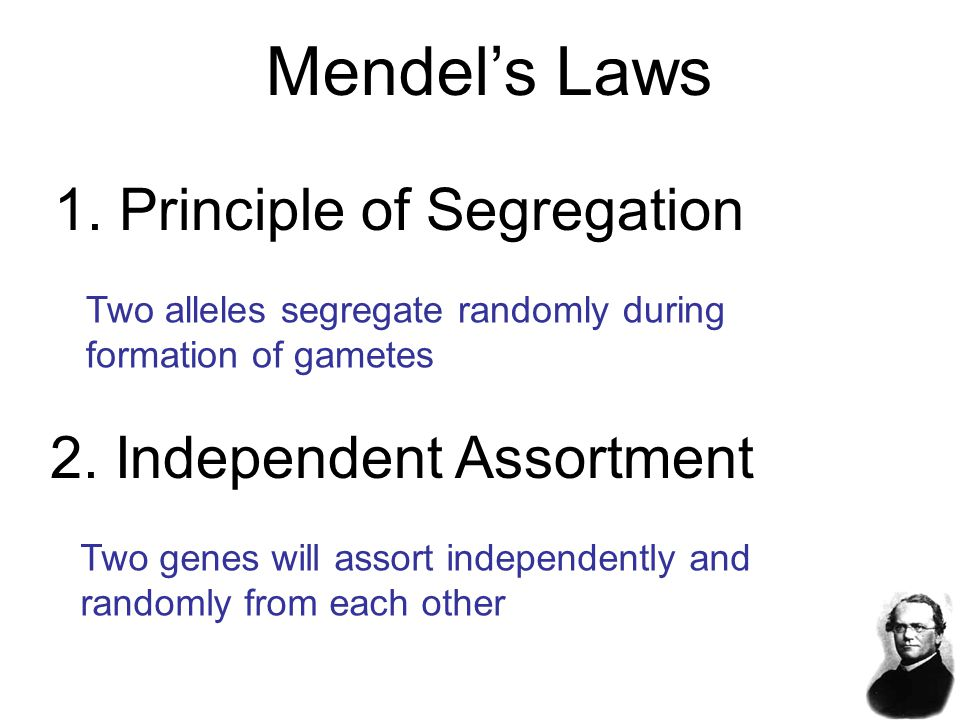 Mendel's Laws 1. Principle of Segregation 2. Independent Assortment