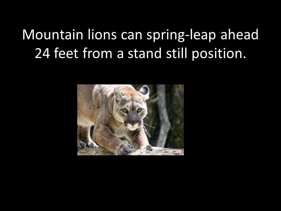 Mountain lions can spring-leap ahead 24 feet from a stand still position.