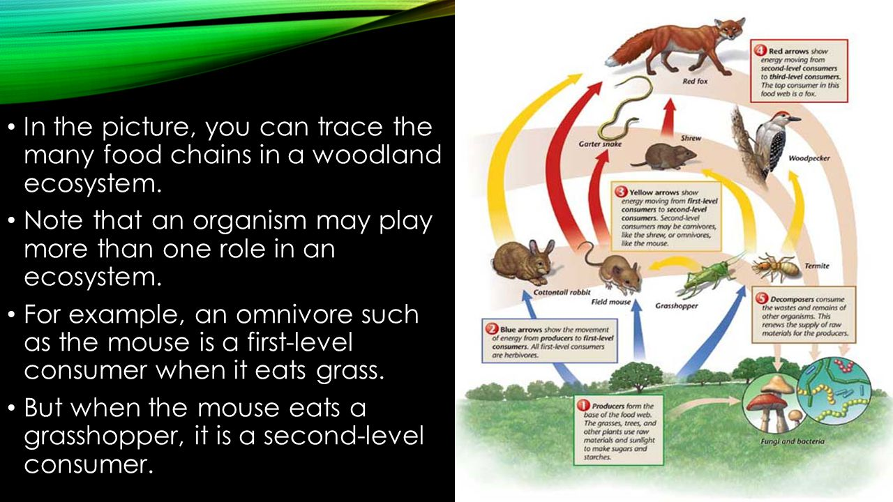 Food Chains & food webs In the picture, you can trace the many food chains in a woodland ecosystem.