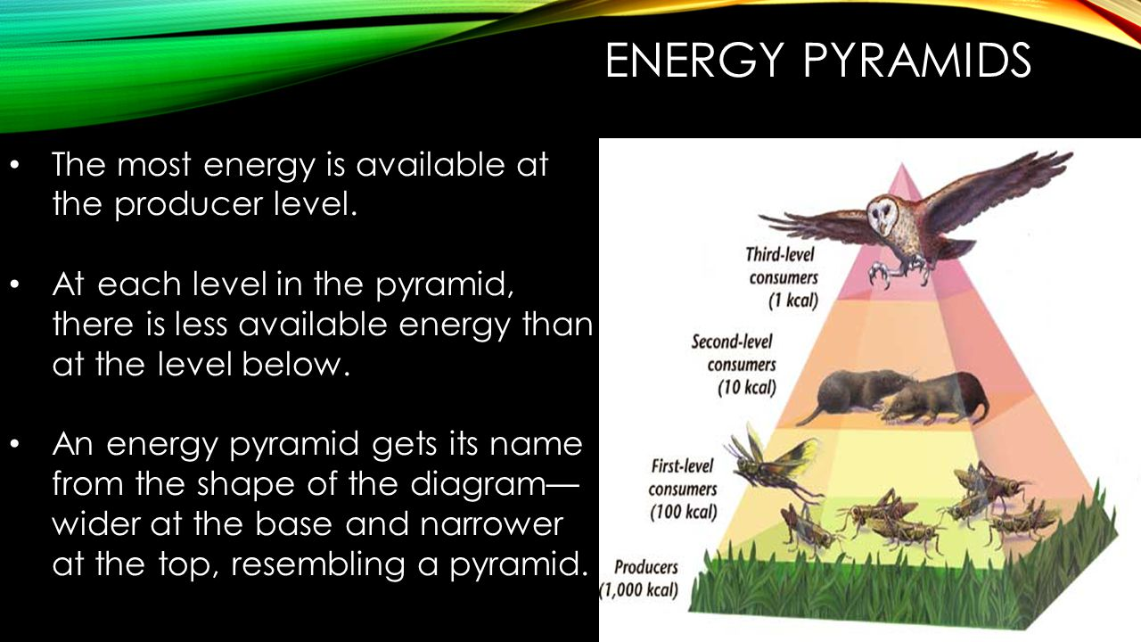 Energy Pyramids The most energy is available at the producer level.