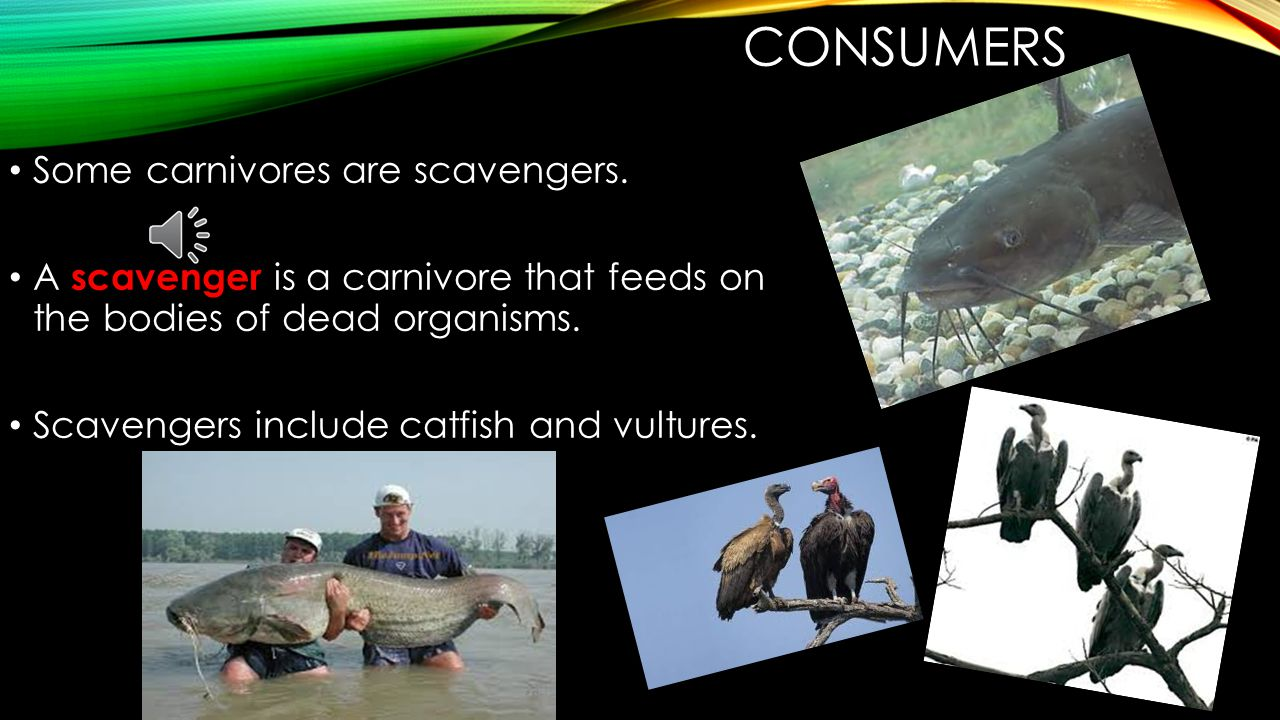 Consumers Some carnivores are scavengers.