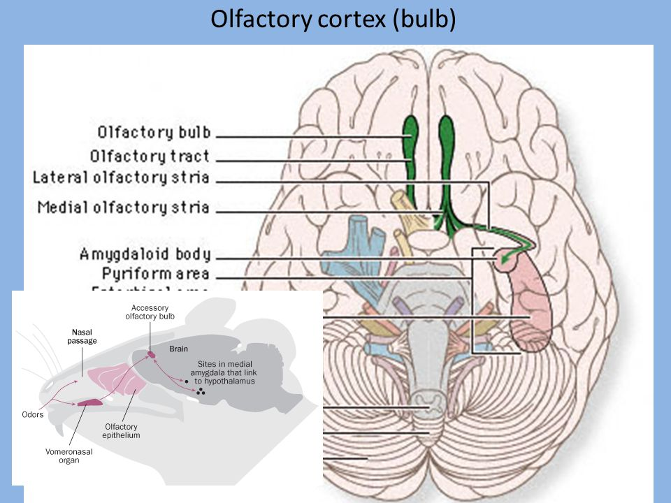 Olfactory cortex (bulb)