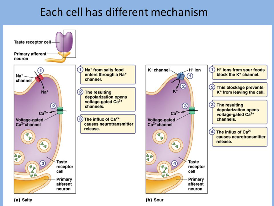Each cell has different mechanism