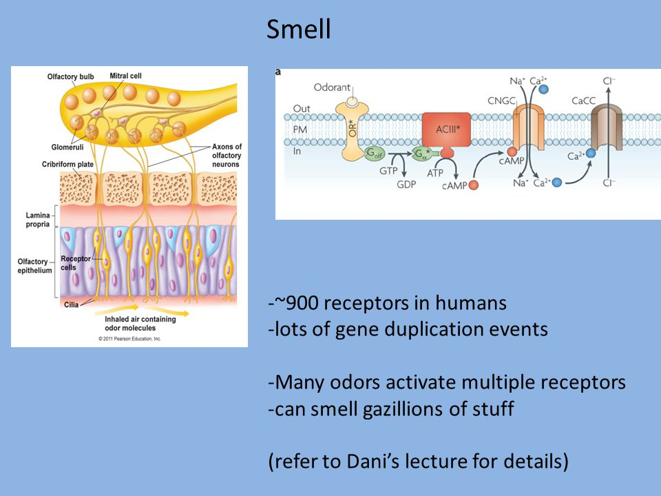 Smell -~900 receptors in humans -lots of gene duplication events