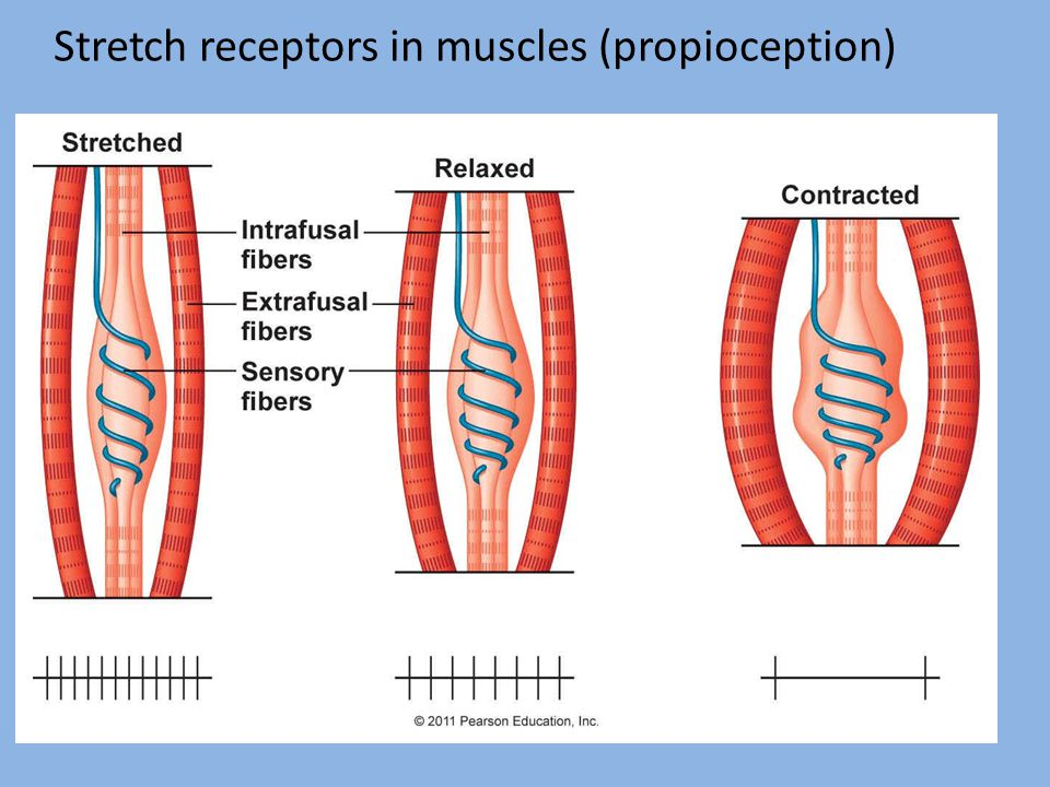 Stretch receptors in muscles (propioception)