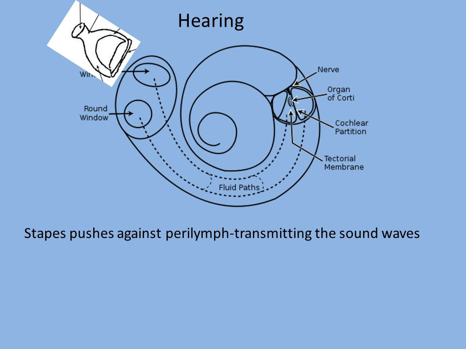 Hearing Stapes pushes against perilymph-transmitting the sound waves