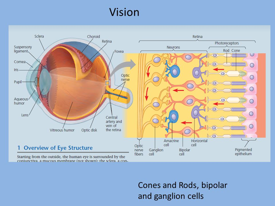 Vision Cones and Rods, bipolar and ganglion cells