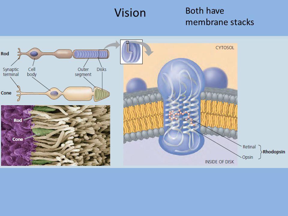 Vision Both have membrane stacks