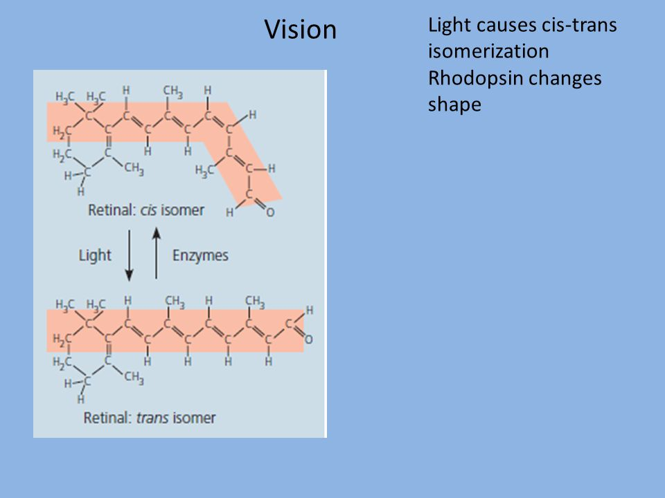 Vision Light causes cis-trans isomerization Rhodopsin changes shape