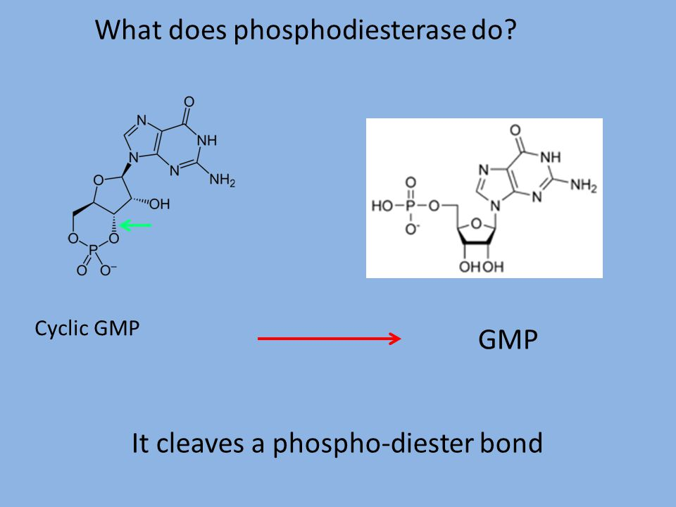 What does phosphodiesterase do