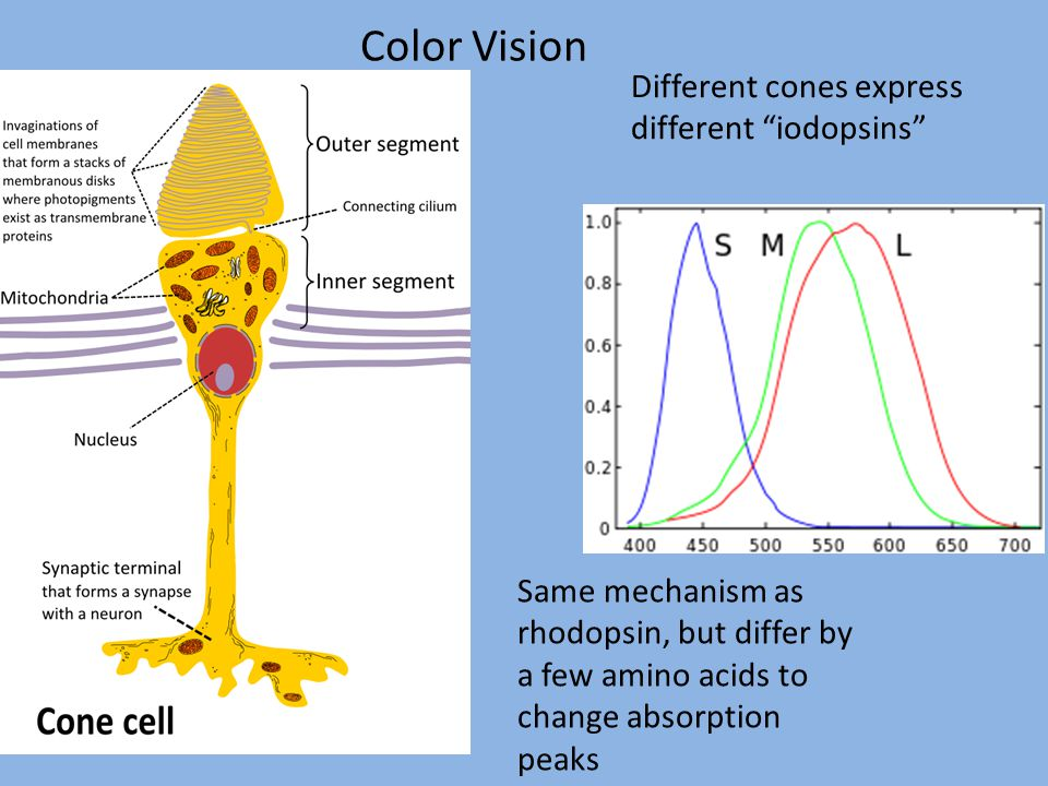 Color Vision Different cones express different iodopsins