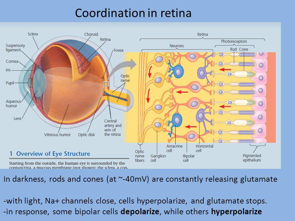 Coordination in retina
