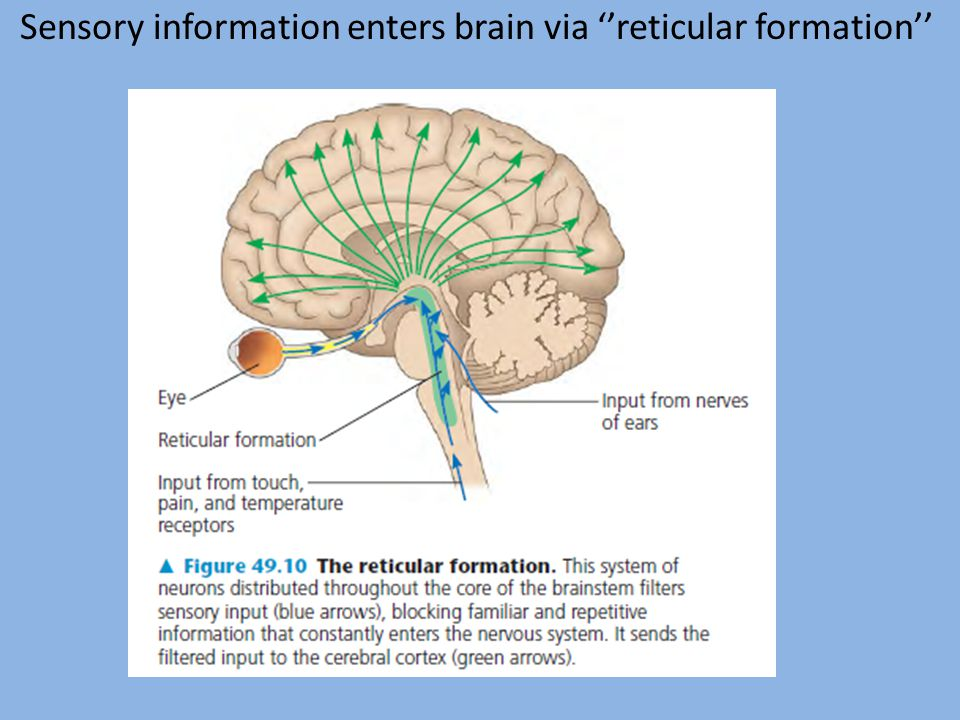 Sensory information enters brain via ''reticular formation''