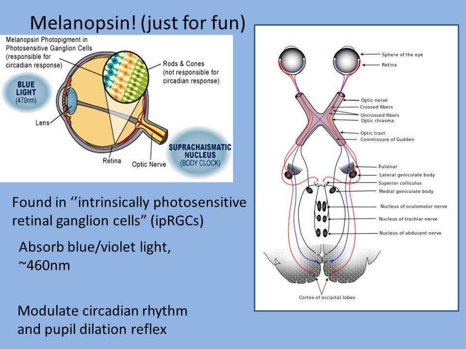 Melanopsin! (just for fun)